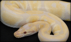 Ball Pythons Albinos Unlimited Inc Specializing In