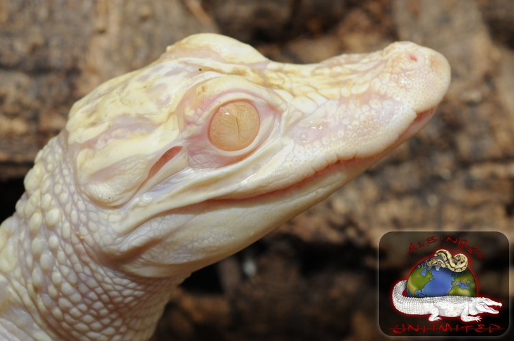 Albino American Alligator | Albinos Unlimited Inc ...